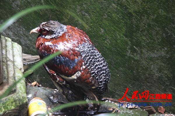 上饶婺源县救护国家一级保护动物白颈长尾雉