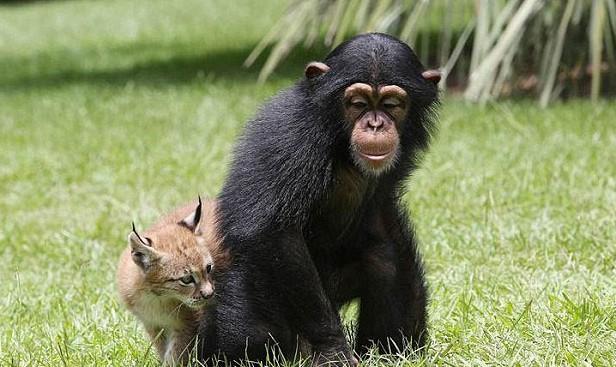 八达岭野生动物园猞猁