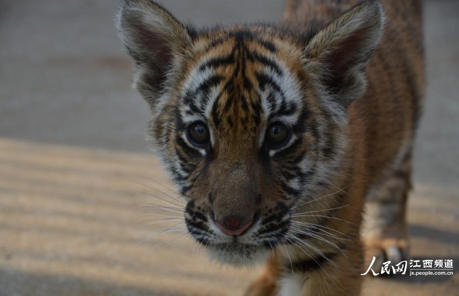 高清组图:南昌动物园两只华南虎宝宝与游客见面【2】