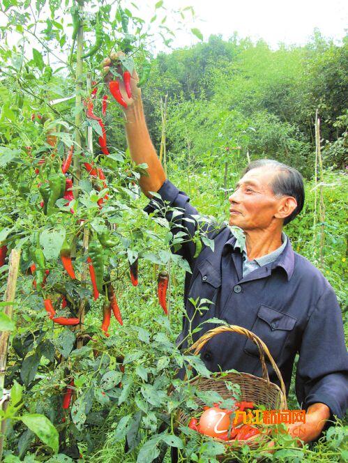 德安村民成功试种辣椒树