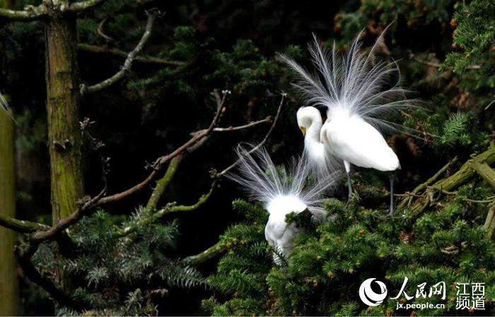人民网南昌4月16日电 (时雨)刚走近南昌象山森林公园,便能看到一群群白鹭从头顶掠过,鸟儿的鸣叫声声传来,如同悦耳的乐声听得让人心醉。在这个4月,南昌象山森林公园迎来大批鹭鸟,它们在这里筑巢繁衍下一代。 象山森林公园由于滨湖的特殊地理位置,每年的4月-10月间都会引来日渐增多的候鸟栖息繁衍,形成了独特的森林候鸟景观。而候鸟则以夏候鸟白鹭为主,多达60余万羽,种类有12种之多(世界上共有15种鹭鸟)。 不同种类的鹭鸟,分片栖息,麻鹭灰鹭在东片林,大、中、小白鹭在西片林,绿色的池鹭与黄色的草鹭在南片林,在这里