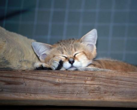 濒临灭绝沙猫大耳朵长尾巴