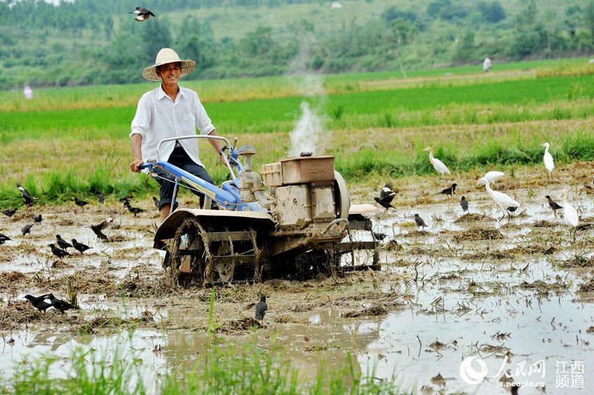 江西鄱阳:人鸟和谐闹双抢