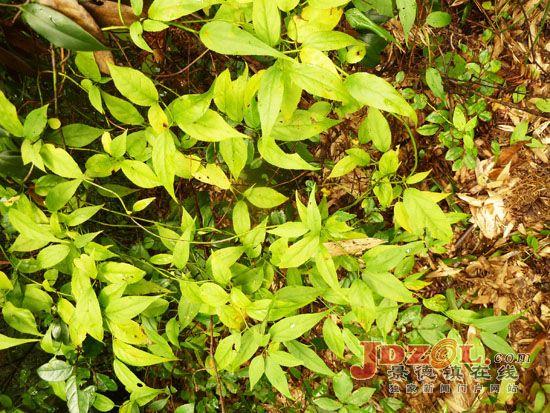 浮梁县惊现国家二级保护植物永瓣藤 日前,江西省林业专家在浮梁县瑶里镇调查时惊奇的发现国家二级保护植物永瓣藤。永瓣藤,落叶藤状灌木,高6米以上。分布于安徽和江西局部海拔150至1000米的山谷、沟边或山坡林中。多攀援于常绿或落叶阔叶林的林木之上,9至10月开花。为中国特有的单种属植物,对研究卫矛科系统发育及地理分布有较高的科学价值。 这次发现的永瓣藤在瑶里镇的汪胡、郑家山等地都有分布。据此次调查的九江森林植物标本馆高级工程师谭策铭教授介绍,永瓣藤在江西的分布地域很狭窄,只有婺源、浮梁等地有分布。从这次调查