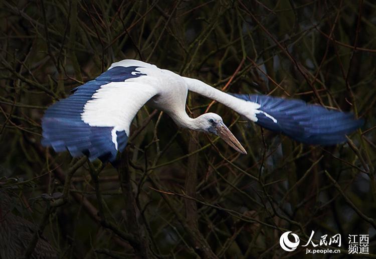 人民网南昌12月8日电 (时雨)8日,本网从江西鄱阳湖国家级自然保护区获悉,鄱阳湖日前首次发现新种钳嘴鹳。2006年,钳嘴鹳在中国首次被发现,为中国鸟类新记录。据悉,目前该鸟仅在云南、贵州、广西、四川有记录。 日前,江西摄影师许勇在鄱阳湖采风时偶遇钳嘴鹳,许勇利用长焦相机拍摄下钳嘴鹳栖息、飞翔等精彩镜头。 据江西鄱阳湖国家级自然保护区介绍,江西著名生态摄影家余会功日前在对鄱阳湖江豚、鸟类及生态环境考察时,意外发现一只成年钳嘴鹳。余会功拍摄记录到钳嘴鹳的多张不同角度照片,在第一时间将图片发给中国科学院动物研