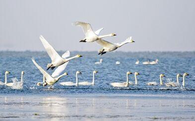 保护动物大天鹅
