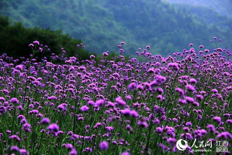 婺源篁岭除了视频盛开紫色百亩马鞭草还有黄色波波老图片