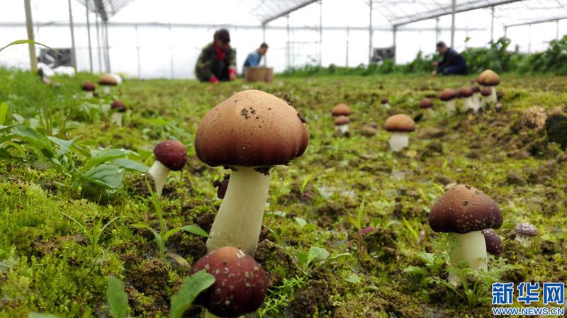 江西省新余市渝水区界水乡联盟有机蔬菜种植园的农户在采摘菌菇.