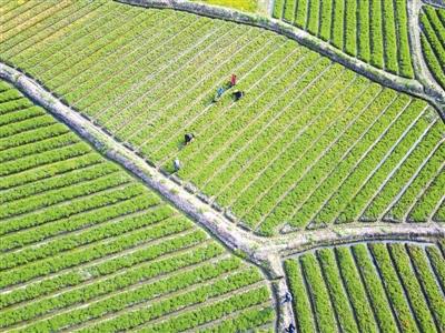 上饶县铁山乡九狮畲族村中药材扶贫产业基地,村民正在为元胡锄草.