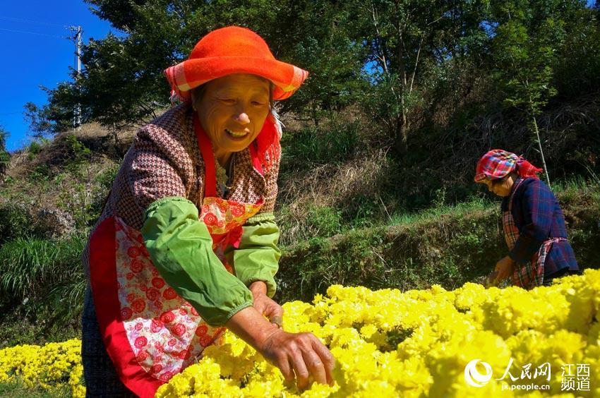 篁岭的晒秋大妈抓住晴好天气采摘、晾晒皇菊。