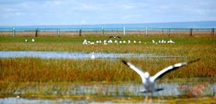"""青海湖北岸呈现""""鱼鸟天堂"""" 每年92种候鸟迁徙"""