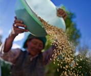 西藏青稞产量有望再创历史新高