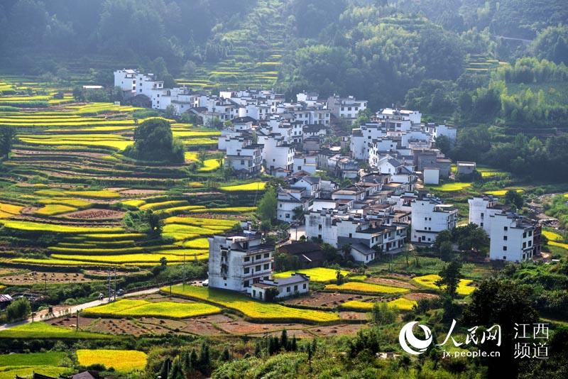 日前,篁岭附近的村庄,农民正抢割中稻,金色水稻与周边徽派建筑构成了一幅天然的丰收油画美景。